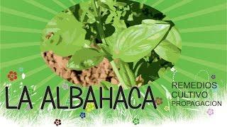 LA ALBAHACA (Ocimum basilicum) - Remedios Naturales - Cultivo - Propagacion