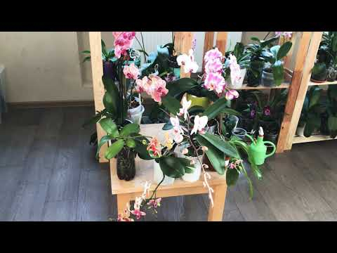 Самые цветущие сорта орхидеи фаленопсис! Для новичков:))