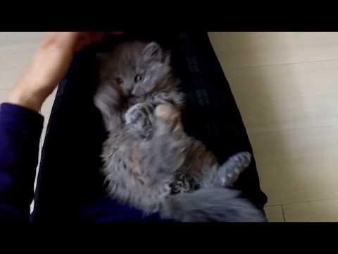 Selkirk Rex kitten REX-BOX Japan