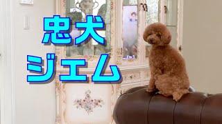 【トイプードル】忠犬ジェム