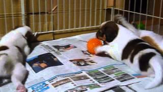 子犬たちは遊びながら社会化の勉強をしています。 2014.7.14生まれ グレ...