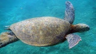 Tunnels Beach Snorkeling With Turtles   Kauai