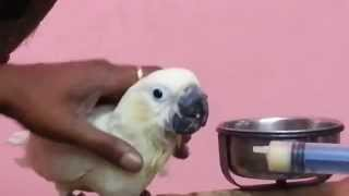 Hand feeding Citron Cockatoo parrot babies in (Preethi Farms)