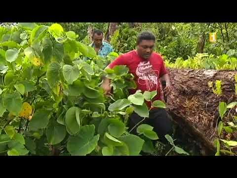 TALANOA: Rubrique Futuna - Sosefo Telai (Culture du Kava)