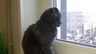Шотландская Вислоухая Кошка 5 месяцев