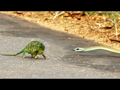 Thumbnail: Boomslang Snake Kills a Chameleon Quickly & Swiftly