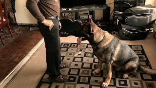 Apollo (16 month old German Shepherd Dog) is very smart and easy to...