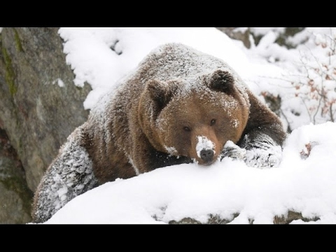America The Wild Yellowstone Scavengers | Nature Documentary