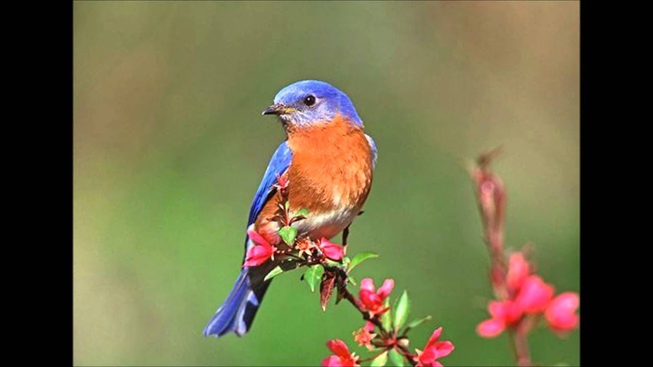 Eastern Bluebird Pictures 17