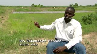 Weird Weather: Can Africa be self-sufficient in rice production?