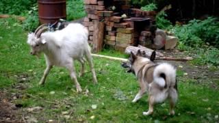 Собака vs Козел)))