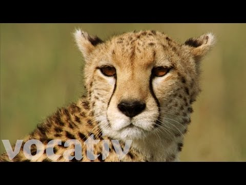 Human Activity Forces Cheetahs To Brink Of Extinction