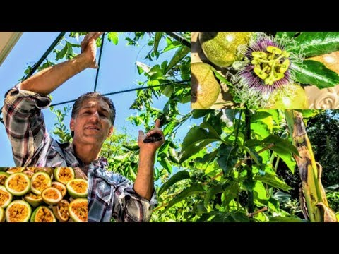 Passion Fruit Vine ('Frederick') |  Old vs. New Trellis Systems | Nutritional Value | Propagation