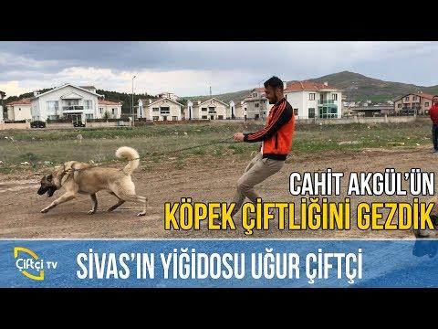 Sivas'ın Yiğidosu Uğur Çiftçi -KANGAL AŞKI