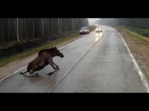 Animals Getting Hit By Cars Compilation
