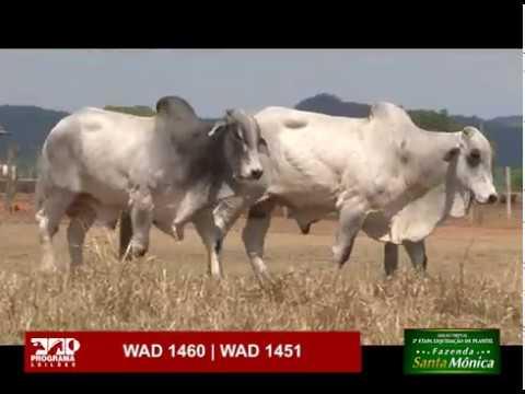LOTE 49 - WAD 1460 | WAD 1451