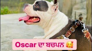 Glimpse of oscar's journey   Oscar   Rattu fitness   Rattu   Pitbull   American bully