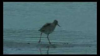 Tureluur - Common redshank - Tringa totanus - Rotschenkel