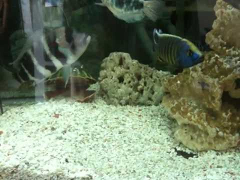Super Aquarium Poisson cichlidés malawi - YouTube WF03