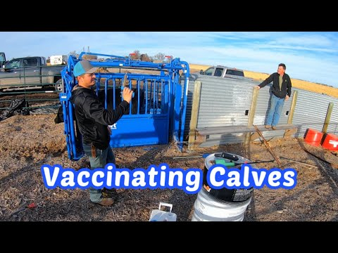 Weaning And Vaccinating Spring Calves
