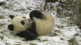 18 Monate alte Panda-Zwillinge zwirbeln in Wien durch den Schnee