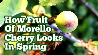 Morello Cherry: How The Fruit Looks Like In Spring? / Allotment Fruit Orchard