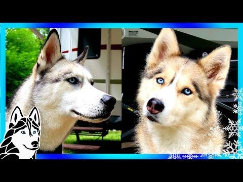 HUSKIES CAMPING WITH 5 DOGS | Siberian Husky Adventure