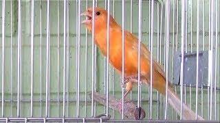 تغريد طائر كناري جبار يحفز الذكر ويهيج الأنثي لتزاوج قمة الابداع لتسميع الفراخ   CANTO DO CANÁRIO