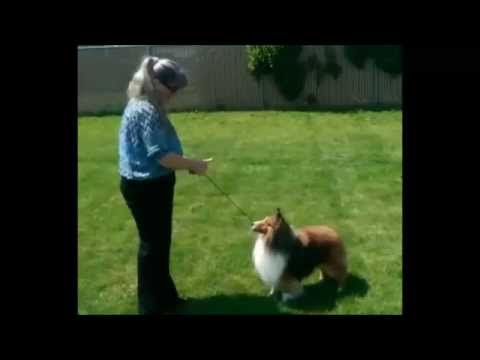 Conformation dog training ~ Professional Handler
