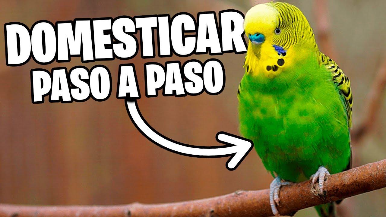 Download DOMESTICAR PERIQUITOS PASO A PASO