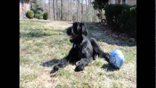 History Of The Giant Schnauzer ( Riesenschnauzer)