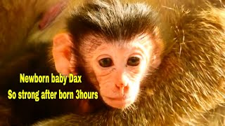 Happy to see Monkey Daisy gave newborn baby Dax so strong and healthy, monkey Daisy and new baby Dax