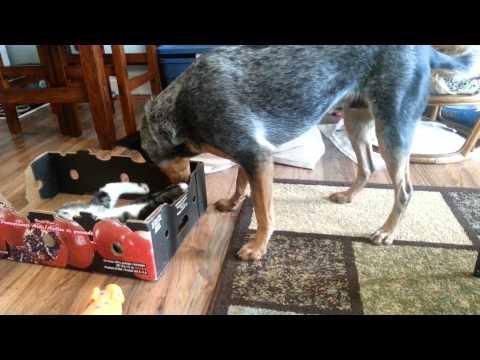 Blue heeler playing with a kitten