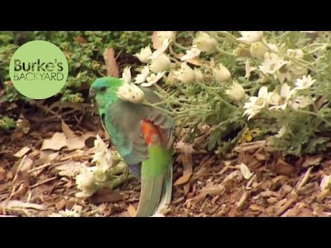 Burke's Backyard, Red Rumped Grass Parrot