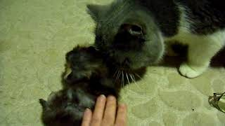 ДЫМЧАТЫЙ котик