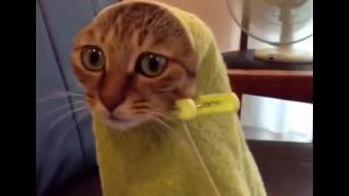 Самые смешные коты в мире! Лучшие приколы с котами 2016-2017 часть 9/ коты разрушители (CatsLIVE)