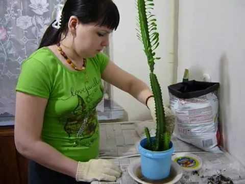 Комнатное растение молочай: польза и вред, чем опасен