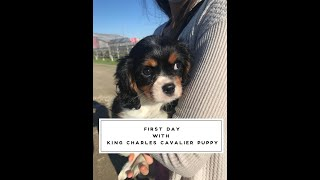 First day bring home our King Charles Cavalier Spaniel puppy.
