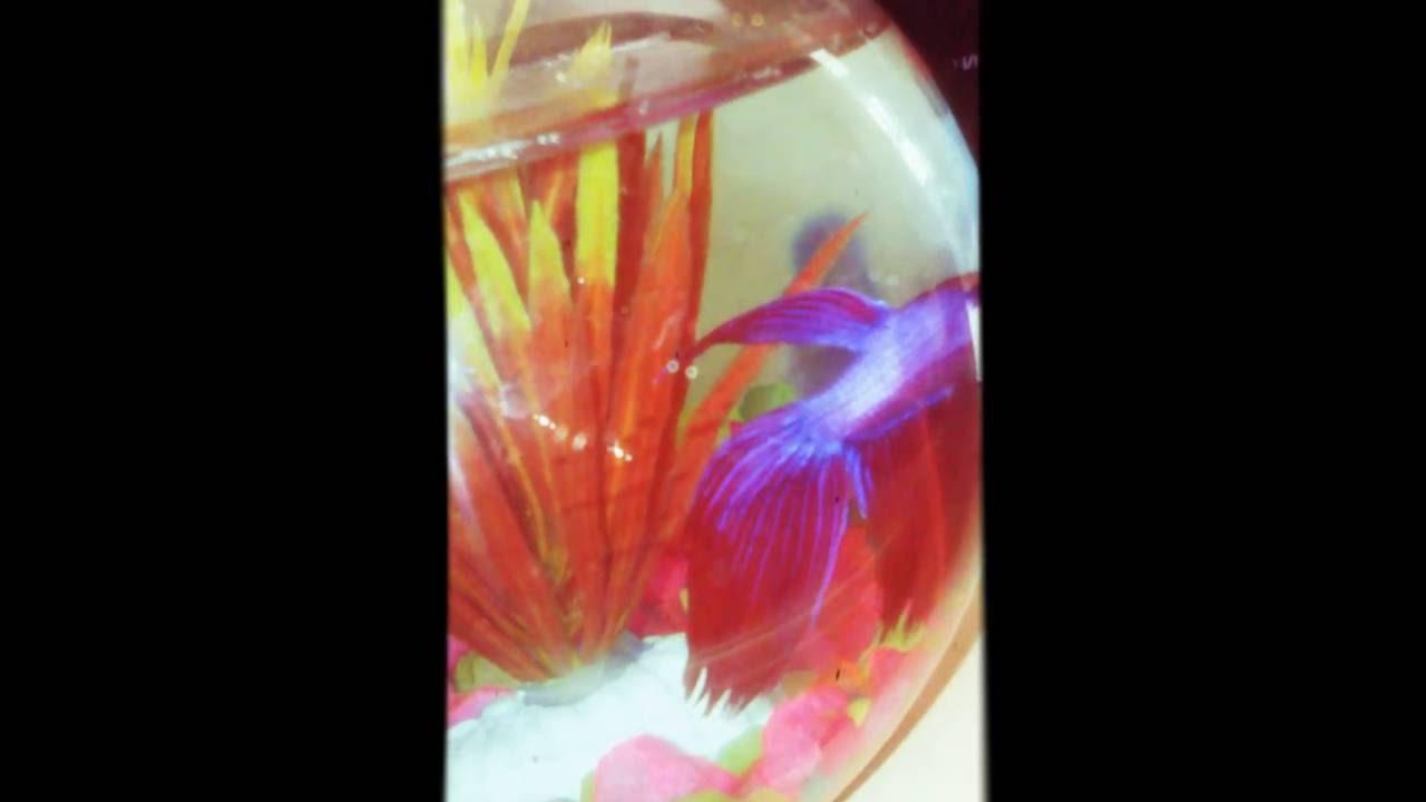 My Super Delta Betta fish ( colour changing) - YouTube