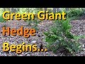 The Thuja Green Giant Hedge is Finally Planted