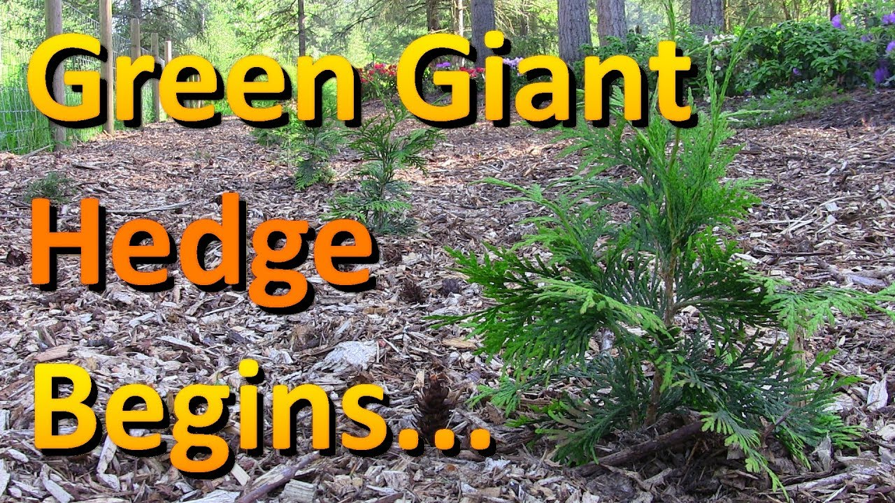 the thuja green giant hedge is finally planted youtube