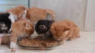Котята Мейн кун учатся кушать твердый корм