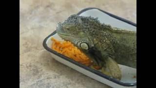 Зеленая игуана ест морковку