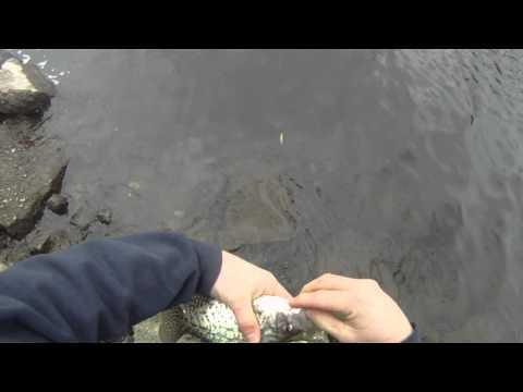 The GEO Report: January 30, 2012 Float And Jig Fishing Black Crappie Chicago River Skokie, Illinois