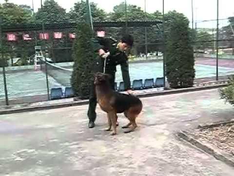 GSD Training - Crawlexercise 2 - Bộ đội biên phòng huấn luyện chó becgiê