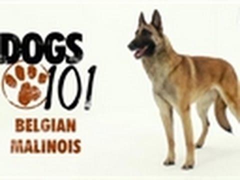 Dogs 101 - Belgian Malinois