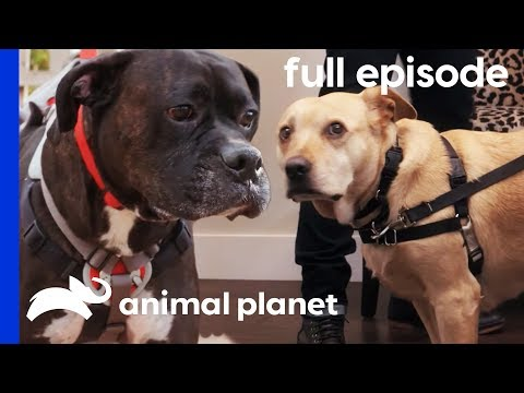 Stella's Wedding Diet and An Overweight Boxer | My Big Fat Pet Makeover (Full Episode)