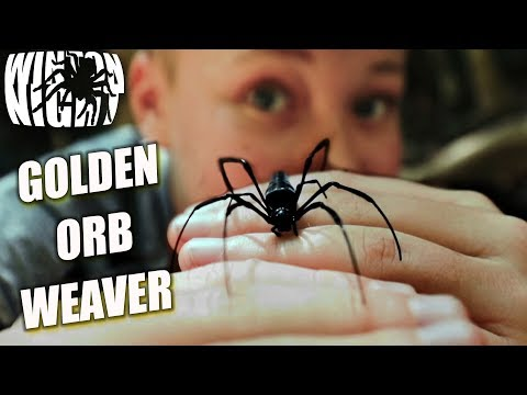 Spiders In Australia - Golden Orb Weaver