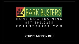 Boston Terrier - Dog Training of Fort Myers K9 - Patrick Logue Dog Trainer