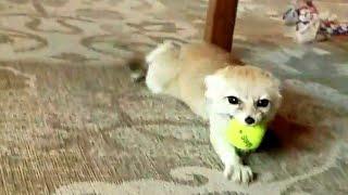 Crazy Fennec Fox SQUEEEEAAALLL!!